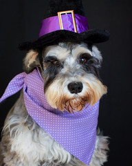 Snickers (Cheryl3001) Tags: dog schnauzer halloween pup canon 5d mark iii 50mm f14 costume witch