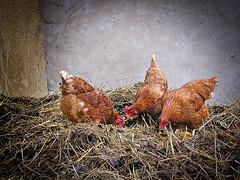 Ihre Hühner waren drei, doch kein stolzer Hahn dabei (Maquarius) Tags: hühner braun misthaufen landwirtschaft bauernhof hühnerhof federvieh vögel laufvögel kleinvieh