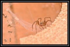 """Arachtober the 30th..."" (NikonShutterBug1) Tags: nikond7100 tokina100mm entomology nature wildlife bokeh spe smartphotoeditor closeup macro spider insects arachnology araneology web arachtober"