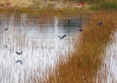 Tree Swallows Hunt (EHPett) Tags: tachycinetabicolor hammonassetstatepark madison connecticut connecticutbirds saltmarsh flying bird wildlife water