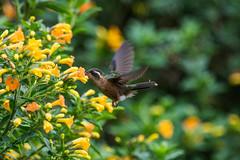 colibri pechipunteado (franiscoantonio) Tags: colibripechipunteado adelomyiamelanogenys