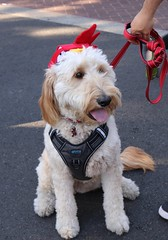 Belle (Webfoot5) Tags: dog dogs dogsonwalks dogzonwalkz goldendoodle