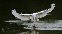 获 (KevinBJensen) Tags: 无人 白鹭 鸟类 野生动物 湖 户外 自然 水禽 喙 飞 野外动物 水 一只动物 鹭 羽毛 猎物 在户外 摄影