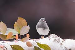 ''Mannequin!'' Junco ardoisé-Dark-eyed junco (pascaleforest) Tags: oiseau bird animal passion nikon nature wild widlife faune québec canada automne