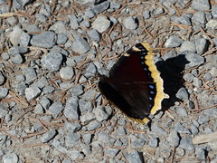 Mourning Cloak! [Explored] (Marit Buelens) Tags: black blue yellow brown butterfly vlinder schmetterling papillon switzerland schwyzerhöhenweg schwyz ibergeregg rouwmantel nymphalisantiopa sorgmantel trauermantel camberwellbeauty mourningcloak schweiz suisse camberwell