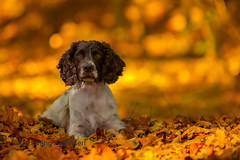 Colors of Autumn (Flemming Andersen) Tags: zigzag spaniel pet nature colors autumn dog outdoor cocker hund animal colorsofautumn liberec liberecregion czechrepublic cz