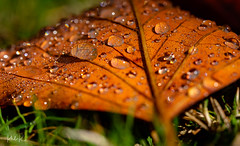 Angel's Tears (PhilR1000) Tags: raindrops leaf autumn brown decay westgreenhouse