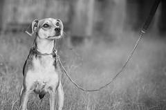 dog (rischefantorus) Tags: dog cane bw littledoglaughednoiret