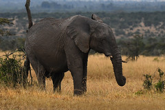 The Itch 3 (mikestreicher) Tags: elephant africanelephant