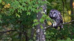 Barred Owl - Strix varia | 2018 - 5 (RGL_Photography) Tags: barredowl birds birdsofprey birdwatching gardenstate greatswamp morriscounty mothernature nature newjersey nikonafs600mmf4gedvr nikond810 northernbarredowl ornithology owls raptors strixvaria us unitedstates wildlife wildlifephotography