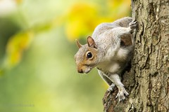 Grey Squirrel (Sciurus carolinensis) (PeterBrooksPhotography) Tags: sciuruscarolinensis 200500 autumn d500 eastsussex eastbourne greysquirrel nikon park peterbrooksphotography season squirrel stare sussex uk wildlife forest habitat mammal tree trees wild ©peterbrooks