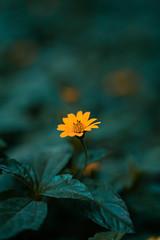 Monsoon (Singh,Gurinder) Tags: monsoon flora flowers