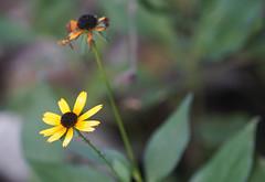 DSC09486 (Old Lenses New Camera) Tags: sony a7r pentax 100mm f28 macro plants garden smcpentaxfa flowers blackeyedsusan