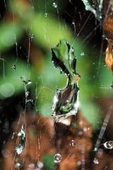 droplets in web 3 (shoot1230) Tags: droplets rain web em5markii macro