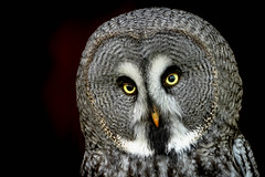 Bartkauz (michel1276) Tags: strixnebulosa bartkauz eule owl portrait porträt tier vogel bird animal worldofanimals