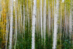 Birch (Zena Perture) Tags: birch autumn forest tree 2018 leaves d750 nikkor nikon outdoor nature abstract ngc 7dwf