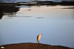 Lone heron (Otacílio Rodrigues) Tags: água pássaro garça heron rio river reflexos reflections natureza nature resende brasil oro margem riverbank