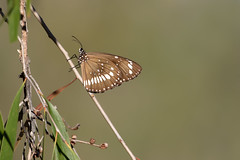 Common Crow (Euploea core) (Ian Colley Photography) Tags: commoncrow euploeacore queensland butterfly insect canoneos7dmarkii ef500mmf4lisusm
