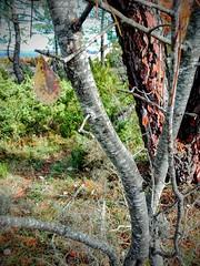 Mostajo o mochera (Sorbus aria) (quintanAopio) Tags: árbol caderechas bureba burgos silvestre autóctono