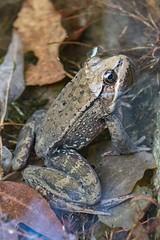 California red-legged frog (penaltykicker) Tags: californiaredleggedfrog frog amphibian california endangeredspecieslist endangered threatened whitewaterpreserve rare