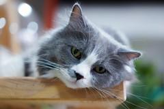 『貓貓喵丫』 我:最愛的大衛寶寶啊!雖然有點沒良心但我真的好喜歡你呀! 大衛:什麼!!!拍照?我挺胸收腹先..... 來吧!是不是帥氣你了~喵丫 #sel55f18z #sonya7iii #cat #catsofinstagram (Joey0124) Tags: sonya7iii sel55f18z cat catsofinstagram
