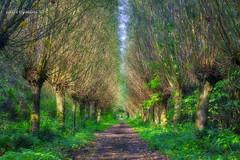 Guard of Honour (Geert E) Tags: de maat mol knotwilg lane pollardwillow nature landscape trees path moody