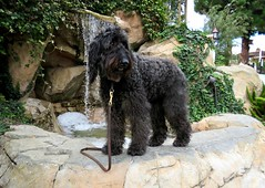 """""""What do you mean, I can't have a drink??"""" by Benni (Bennilover) Tags: water fountain drinking nonpotable dog dogs labradoodle benni thirsty rogersgardens bennigirl"""