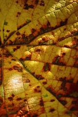 Blad detail - Leaf detail (brigittefotografie) Tags: appeltern herfstkleuren autumncolors najaar fall oktober octobre macro tuinen gardens detailblad detailleaf