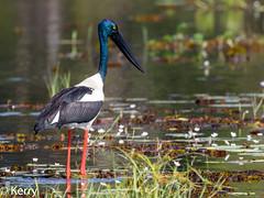 Black-necked Stork, Female (Kazredracer) Tags: 2018 female yellowwater storkblacknecked kakadunp birds australia nt ephippiorhynchusasiaticusaustralis jabiru