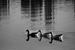 6D_IMG_1890Z (A. Neto) Tags: tamron28300divcpzd tamron eos canon6d canon 6d blackwhite bw monochrome animal goose lake water nature reflections