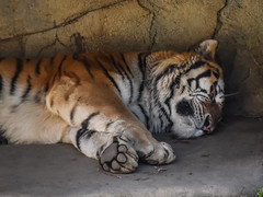Amur Tiger (tim.perdue) Tags: columbus zoo aquarium powell ohio nature animal nikon d5600 nikkor 70300mm amur tiger panthera tigris siberian asia asian quest wildlife big cat feline sleeping stripes