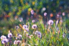 last dandelions in 2018 (Veitinger) Tags: dandelion pusteblume pusteblumen dandelions bokeh bubble bubblebokeh seifenblasenbokeh helios helios442 gras wiese meadow natur nature grün green flower flowers ngc pixoom sony veitinger mod modifiziert modified