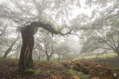 Bosque encantado (Miguel Lorenzo Fotografía) Tags: bosquedeniebla forest niebla alcornoque parquenaturaldelosalcornocales algeciras tarifa campodegibraltar fog nikond810 nikkor1424