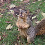 Squirrels in Ann Arbor at the University of Michigan - October 29th, 2018 thumbnail