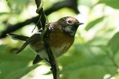 Hawai'i 'Elepaio (Garrett Lau) Tags: hawaiielepaio hawaiivolcanoesnationalpark birds