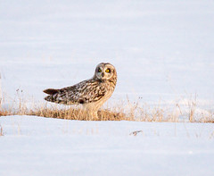 _V6A2523 (Tom Wilberding) Tags: animals birds shortearedowl ut utqiaġvik barrow alaska
