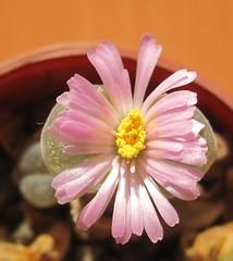 ophthalmophyllum lydiae (magnitferro) Tags: succulent ophthalmophyllum lydiae flower