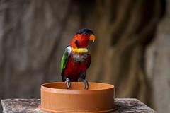 Yellow-bibbed lory (@Katerina Log) Tags: parrot attikazoopark colorful bird depthoffield bokeh katerinalog outdoor wildlife wings natura nature sonyilce6500