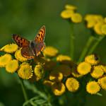 Small Copper thumbnail