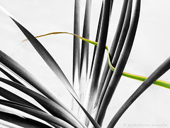 bulrush (marianna_armata) Tags: bulrush reed plant selective colour sliderssunday hss mariannaarmata
