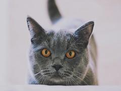 Cesare (max832) Tags: micro43 mft snapseed 60mm28macro markiii omdem10 olympus highkey cucciolo animale occhi grigio gatto cesare grey british cat pet pets