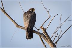 Peregrine Falcon 1829 (maguire33@verizon.net) Tags: falcoperegrinus peregrinefalcon pradoregionalpark bird birdofprey falcon peregrine raptor wildlife chino california unitedstates us