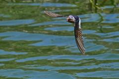 Welcome Swallow (Rodger1943) Tags: swallows welcomeswallow birdsinflight faunainmotion australian birds fz1000 australianbirds