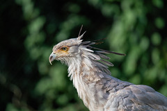 Secretarisvogel_01 (Nick Dijkstra) Tags: blijdorp sagittariusserpentarius secretarisvogel