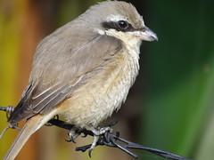 DSC02526 (phenixliu68) Tags: shrike bird nature 紅尾伯勞 伯勞 候鳥 動物 戶外 野生 生態攝影
