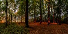 Abendlicht (matthias_oberlausitz) Tags: wilhelmshöhe oppach abendsonne abendlicht buchen buchenwald oberlausitz sachsen