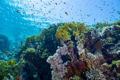 Reef Treasure (germorelia) Tags: reef riff tauchen diving egypt sinai nauticam ägypten unterwasser underwater unterwasserphotography sony inon unterwasserfotografie