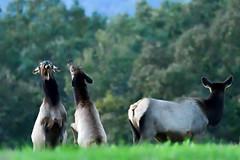 BNP_5899_NXi-Edit (MartinGene) Tags: elkcounty pa pennsylvania elk country mountains antlers
