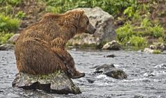 The great thinker (paolo_barbarini) Tags: bear bears kamchatka kambalnaya river animals wildlife mammals orso nature
