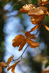 FALL BEECH LEAVES (beatawozniak1968) Tags: autumn natura light foliage forest bronze beech closeups plant leaves colours seasons changing fall bokeh